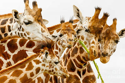 Photograph - Family Rotschild's Giraffe by Nick  Biemans