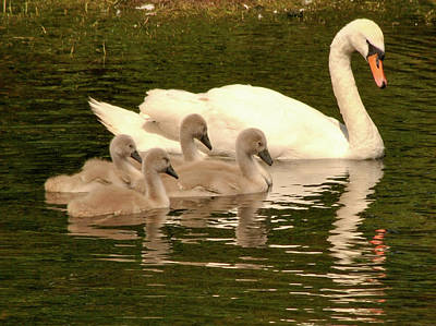 Photograph - Family Swan  by Joe Ormonde