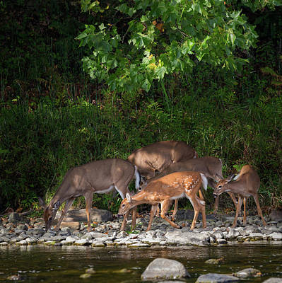 Whitetail Deer Photograph - Family Time by Bill Wakeley