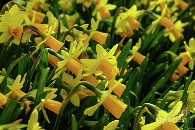 Photograph - Family Of Daffodils by Jennifer White