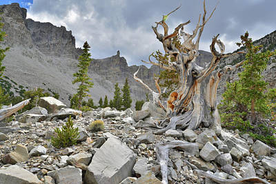 Photograph - Famous Bristlecone Pine by Ray Mathis