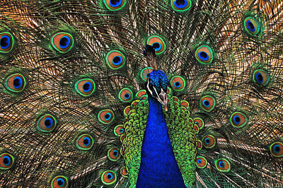 Peacock Photograph - Fan by Jean Booth