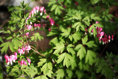 Flower Photograph - Fanciful Bleeding Hearts by Marilyn Hunt