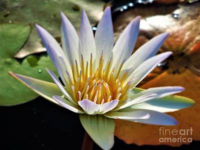 Photograph - Fancy Blue Water Lily by Chad and Stacey Hall