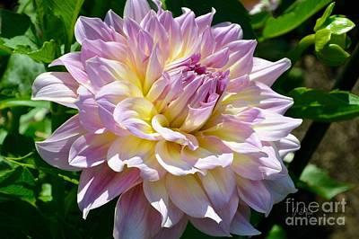 Photograph - Fancy Dahlia In Pinks by Jeannie Rhode