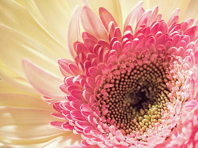 Photograph - Fancy Pants Gerbera Daisy by Robin Zygelman