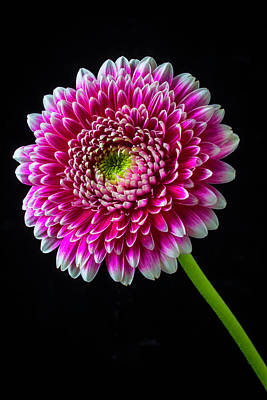 Gerbera Daisy Photograph - Fancy Pink And White Mum by Garry Gay