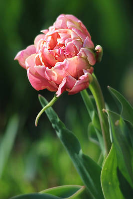Photograph - Fancy Pink Tulip by Trina Ansel