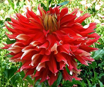 Photograph - Fancy Red Dahlia by Suzanne McDonald