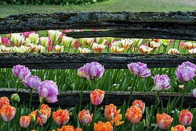 Photograph - Fancy Tulips And Old Fence by Robert Potts
