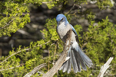 Photograph - Fanning Scrub Jay by David Cutts