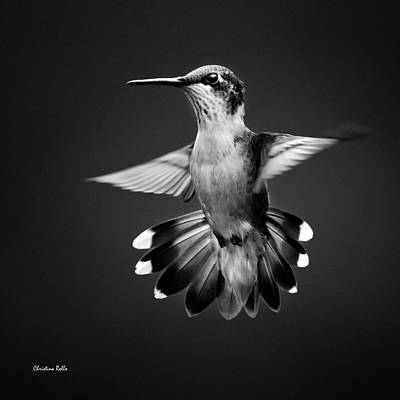 Bird Photograph - Fantail Hummingbird Square Bw by Christina Rollo