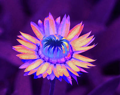 Photograph - Fantasy Daisy by Margaret Saheed