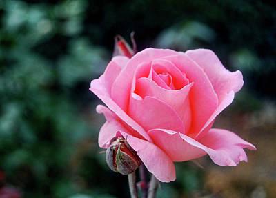 Photograph - Fantin-latour Paris Roses by JAMART Photography
