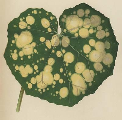 Botanical Drawing - Farfugium Grande  Leopard Plant, Green Leopard Plant by English School
