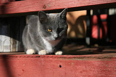 Red Photograph - Farm Cat by Tacey Hawkins