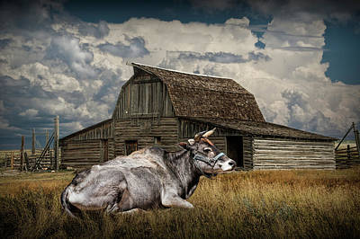 Photograph - Farm Cow Laying In The Grass by Randall Nyhof