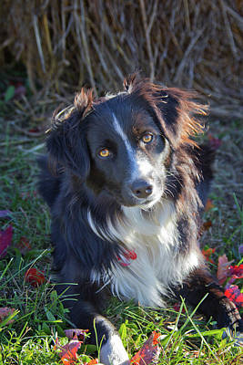 Photograph - Farm Dog by Jemmy Archer