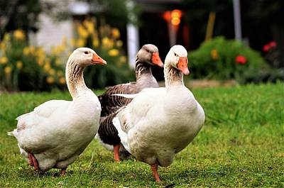 Photograph - Farm Geese by CK Brown