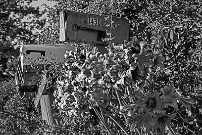 Photograph - Farm Road Resurrection Lilies Sebastopol Ca Black And White by Toby McGuire