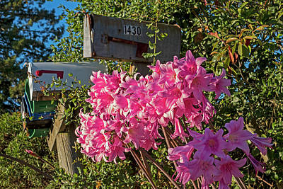 Photograph - Farm Road Resurrection Lilies Sebastopol Ca by Toby McGuire