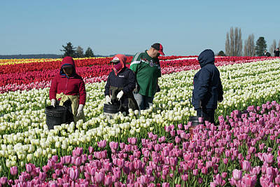 Photograph - Farm Workers In Tulips by Tom Cochran