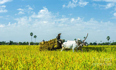 Photograph - Farmer Carrying Rice With Cow by Arik S Mintorogo