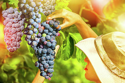 Photograph - Farmer Checking Grapes by Benny Marty