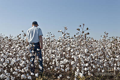 Bio Cotton Photograph - Farmer Inspecting Gm Cotton by Inga Spence