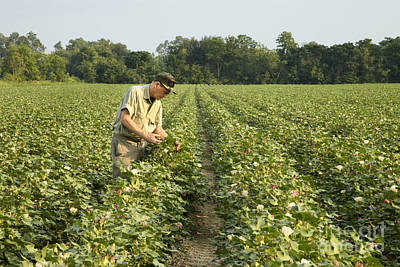 Bio Cotton Photograph - Farmer Inspects His Cotton Field by Inga Spence