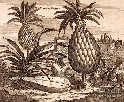 Food And Beverage Drawing - Farming Large Pineapples by English School