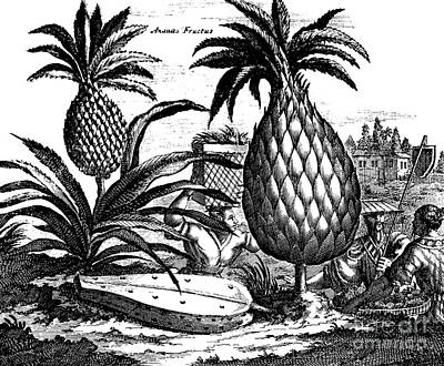 Food And Beverage Drawing - Farming Large Pineapples, Illustration From A Description Of Embassies To China, 1690  by English School
