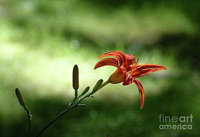 Photograph - Farmington Lilies 2 by Edward Sobuta