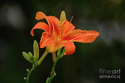 Photograph - Farmington Lilly 3 by Edward Sobuta