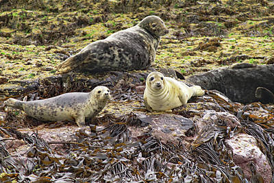 Photograph - Farne Island Seals by Tony Murtagh
