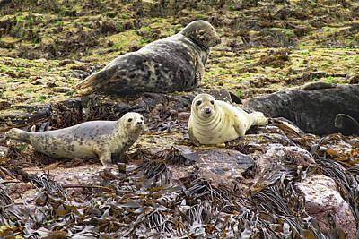 Photograph - Farne Island Seals by Tony Murtagh