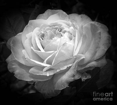 Photograph - Fascination Rose by Sara Raber