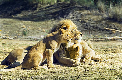 Father And Son Photograph - Father Of The Pride by Melody Watson
