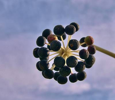 Photograph - Fatsia Japonica Fruit by Richard Brookes