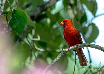 Photograph - Favorite Cardinal by Cheryl Baxter