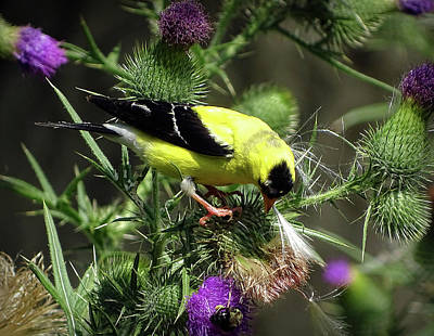 Photograph - Favorite Food Of Goldfinch by Lilia D
