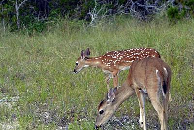 Photograph - Fawn And Doe Feeding by Nadalyn Larsen