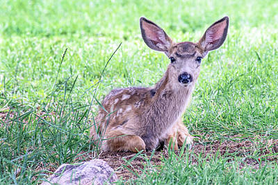 Photograph - Fawn At Rest by Dawn Key