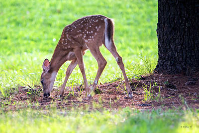 Photograph - Fawn Back-lit by Brian Wallace