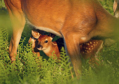 Photograph - Fawn Below by Art Cole