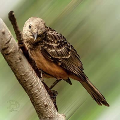 Digital Art - Fawn-breasted Bowerbird by Daniel Hebard