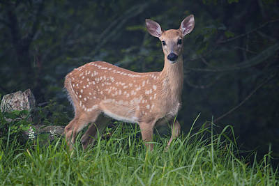 Photograph - Fawn Doe by Ken Barrett