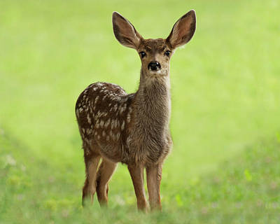Photograph - Fawn by Erica Kinsella