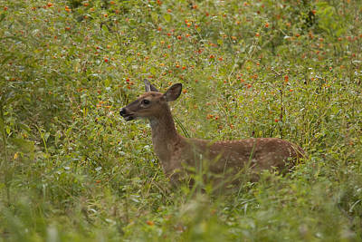 Fawn In A Field Of Flowers Art Print by Tina B Hamilton