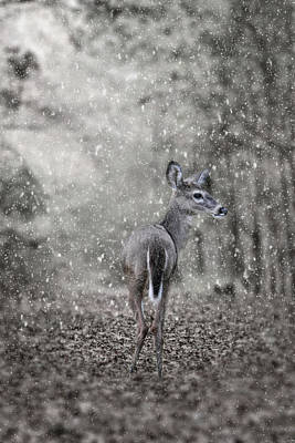 Photograph - Fawn In A Snow Storm by Jai Johnson